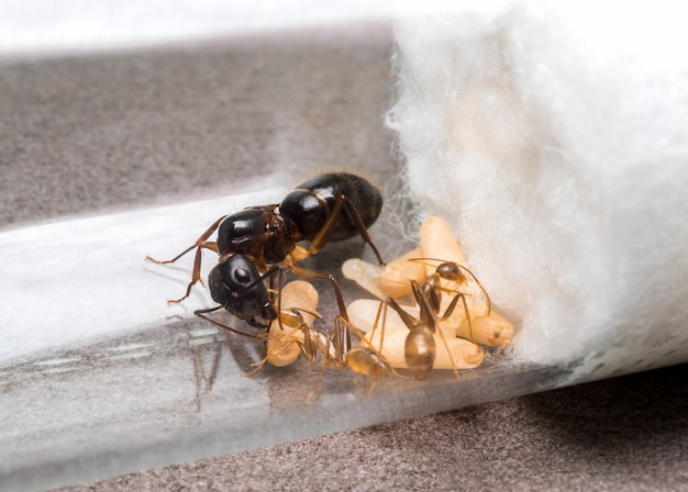 Worker ant feeding the queen