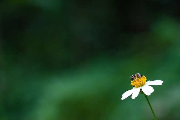 Worker bee eating sweet water from blossom flower for honey. green nature background