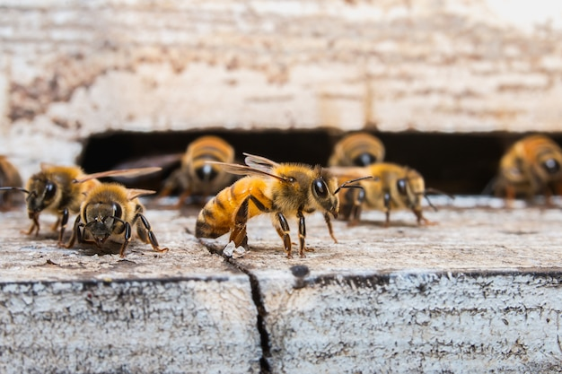 Worker bees collecting nectar at front hive entrance, honeycomb in a wooden frame