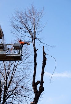 Worker on crane pruning the trees