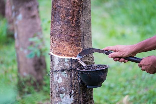 Worker farmers hands tapping latex from a rubber tree with knife, in the early morning.