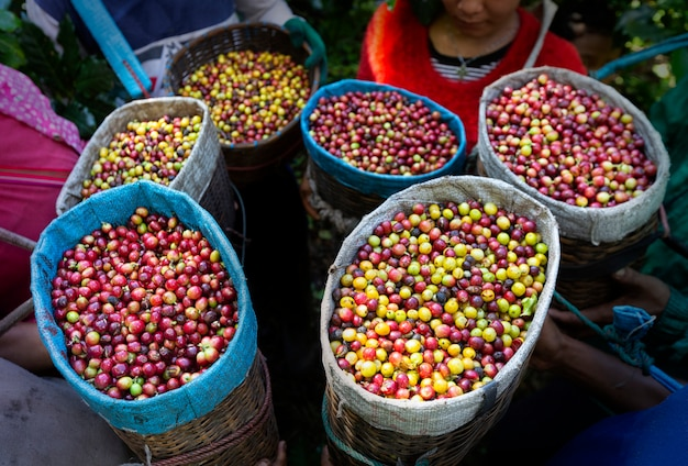 Worker harvest arabica coffee berries on its branch,agriculture economy industry business