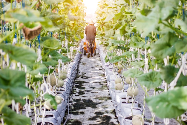 Worker harvesting melon in greenhouse melon farm