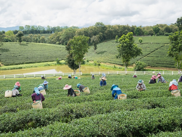 Worker picking green tea leaves
