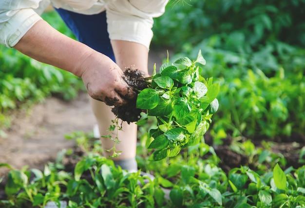 Worker with pepper seedlings in spring. selective focus.