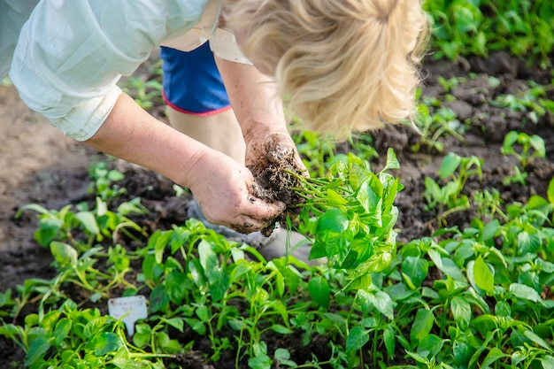 Worker with pepper seedlings in spring.