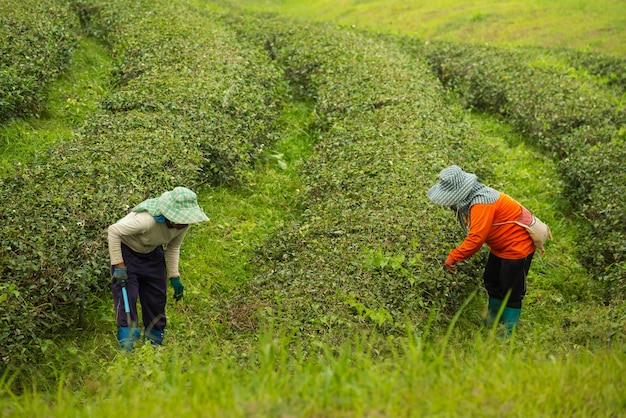 Worker woman picking green tea leaf at the tea farm