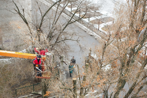 Workers in the municipal utilities cut tree branches. trimming tree branches interfering with power wires