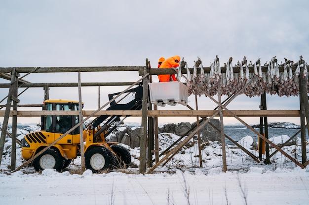 Рабочие на деревянной стойке вяленой рыбы зимой. лофотен, остров, нурланд, норвегия