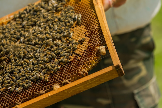 Working bees on honeycombs. the beekeeper takes out the frame with a honeycomb from the hive with his bare hands.