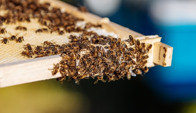 Рабочие пчелы на сотах. каркас покрыт пчелами. крупным планом вид.