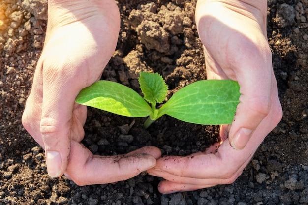 세계 토양의 날 개념:인간의 손은 땅에 심어진 어린 녹색 묘목을 잡고 보호합니다. 환경 개념을 돌보는