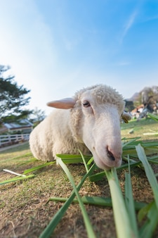 Worm eye view of sheep eating grass with soft focus and blurred background