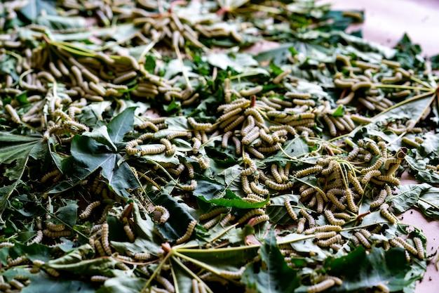 Worm silk feeding on leaf trees