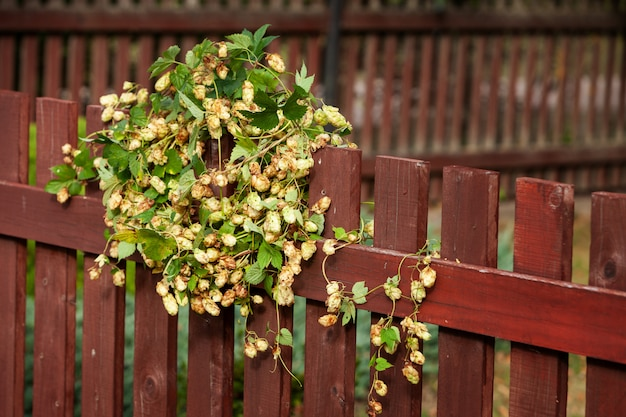 A wreath of beautiful fresh hops on a wooden brown fence.