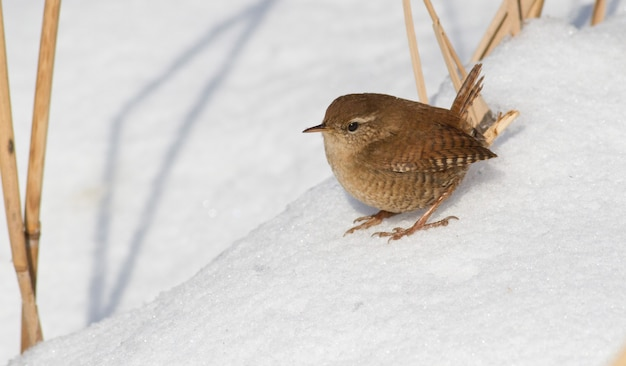 ミソサザイ、トログロダイト。晴れた朝、葦の間の雪の中に鳥が座っている