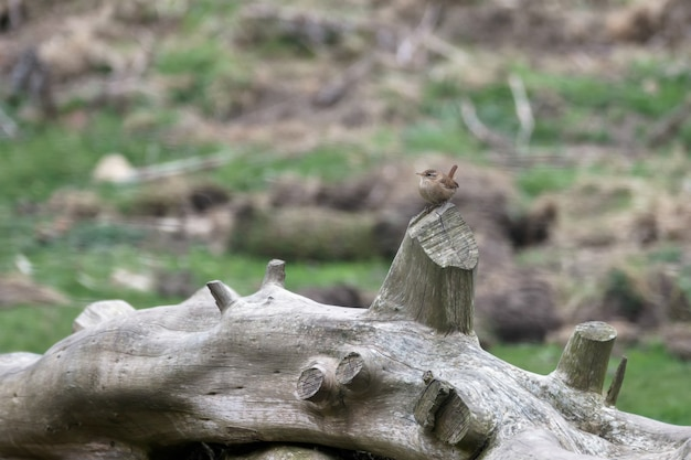 죽은 나무 줄기에 굴뚝새 (trogodytes troglodytes)