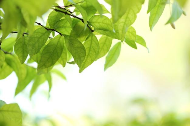 Размытие изображения зеленых листьев wrightia religiosa