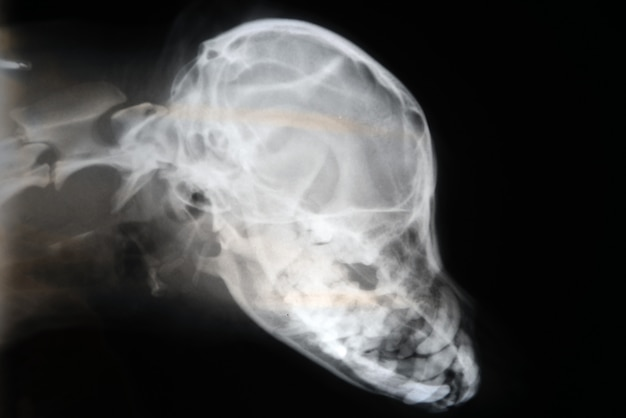 X-ray of dog skull. veterinary x-ray image.