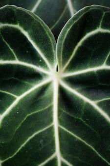 Xanthosomaの葉のクローズアップ