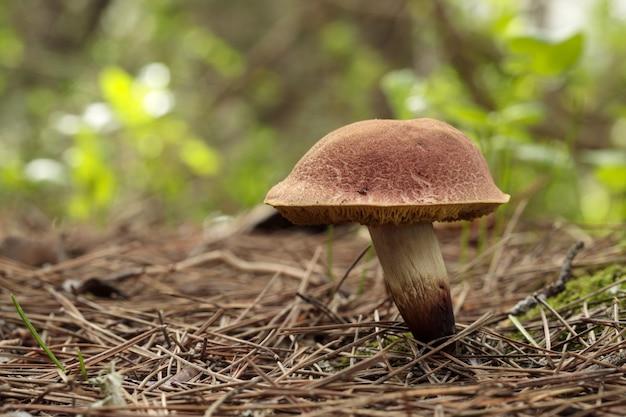 Un fungo di specie xerocomellus