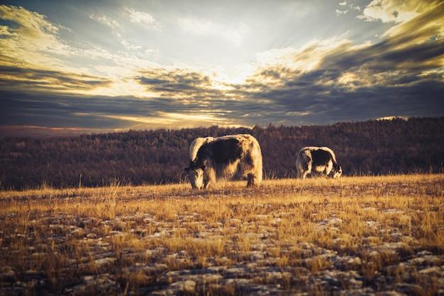 バイカル、ロシアのオルホン島の日没時の芝生のフィールドにヤク(bos mutus)。