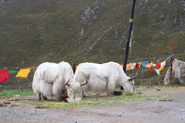 Yak eating grass in laji shan qinghai province china
