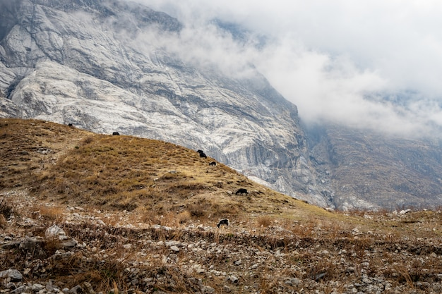 Yak eating hay field on the mountain, langtang valley