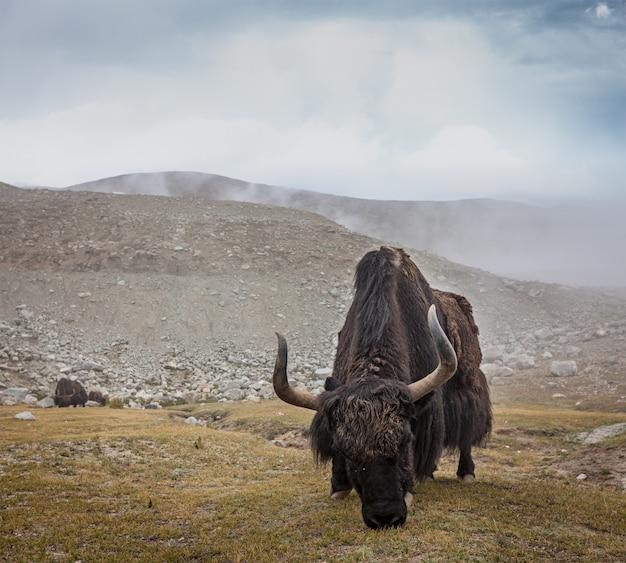 ヒマラヤのヤクの放牧