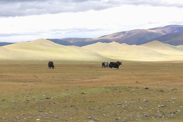 Yak herd in the steppes of mountainous mongolia. altai
