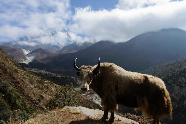 ネパールのヤク