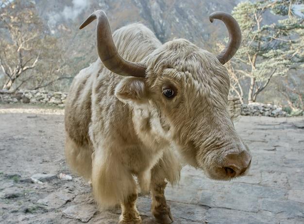 ネパールの山でヤク。
