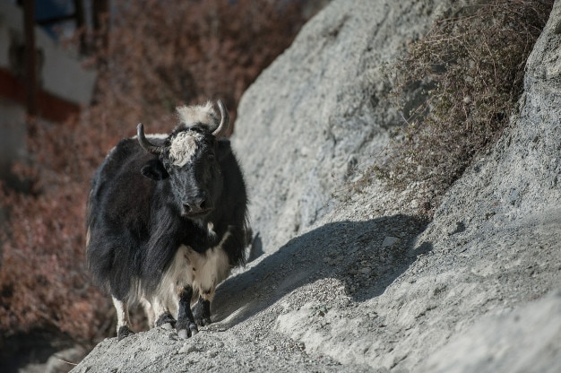 Yak in mountain, nepal
