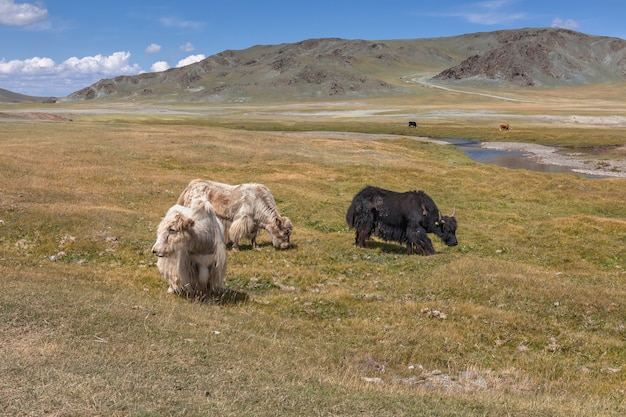 Yak pastures of mongolia. high in the mountains. Premium Photo