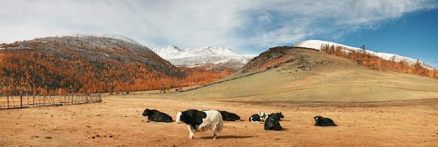 Yaki on a mountain pasture in mongolia Premium Photo