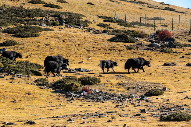 Yaks on the field in yading national reserve, daocheng county, sichuan province, china.