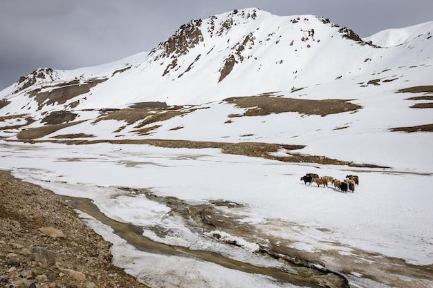 Яки на высокогорном плато национального парка хунджераб