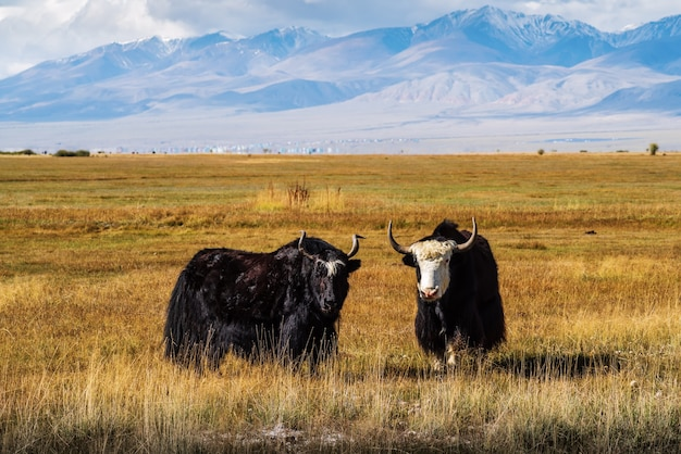 Yaks on a pasture in the autumn steppe against the backdrop of mountains. kosh-agachsky district, altai republic, russia