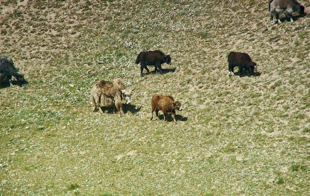 Yaks at pik lenin, sary mogul, altai and pamir mountains, kyrgyzstan, central asia