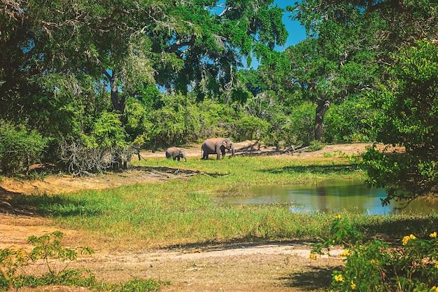 Национальный парк яла, шри-ланка, азия. красивое озеро и старые деревья. лес в шри-ланке, большая каменная скала на заднем плане. летний день в пустыне, отдых в азии.