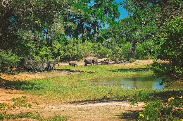 Yala national park, sri lanka, asia. beautiful lake and old trees. forest in sri lanka, big stone rock in the background. summer day in wilderness, holiday in asia.