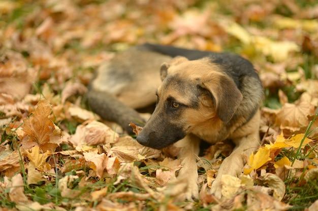 Собака двора, лежащая на опавших листьях в парке