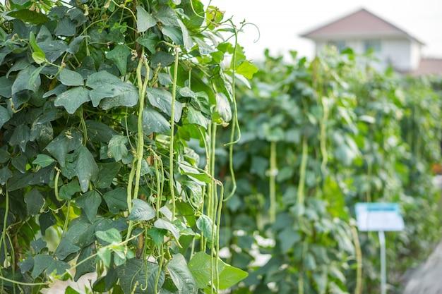 The yardlong bean in a vegetable garden