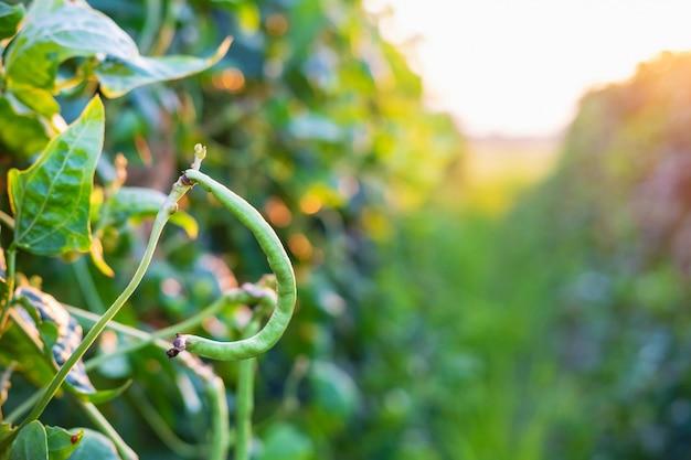 農場のヤードロン豆