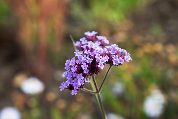 庭の薬用植物で育つノコギリソウ。