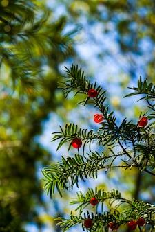 Yaw tree leaves with berries