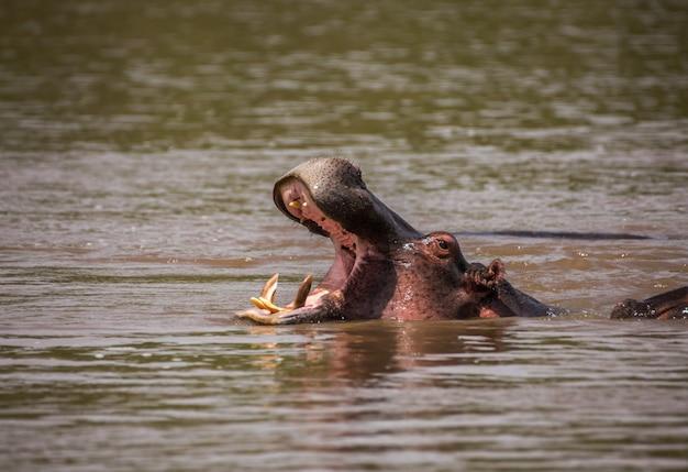 水の中のあくびカバ