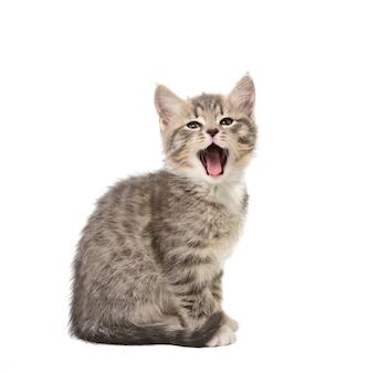 흰색 배경에 고립 된 작은 회색 고양이 하품