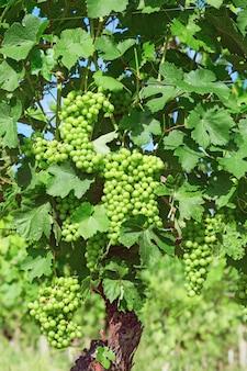 Years old vine, vineyard, varietal grapes in the piedmont region near alba