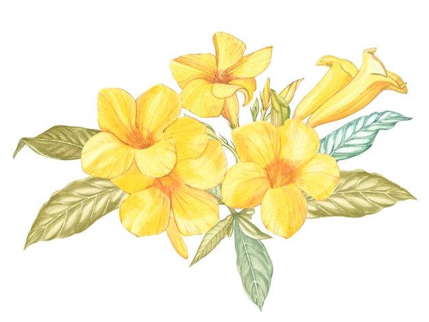 Yellow alamanda flower isolated. watercolor singapore flower realistic colorful with leaves.